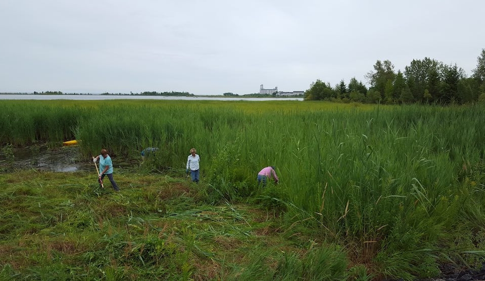 Community in Collinwood helping with Phragmites