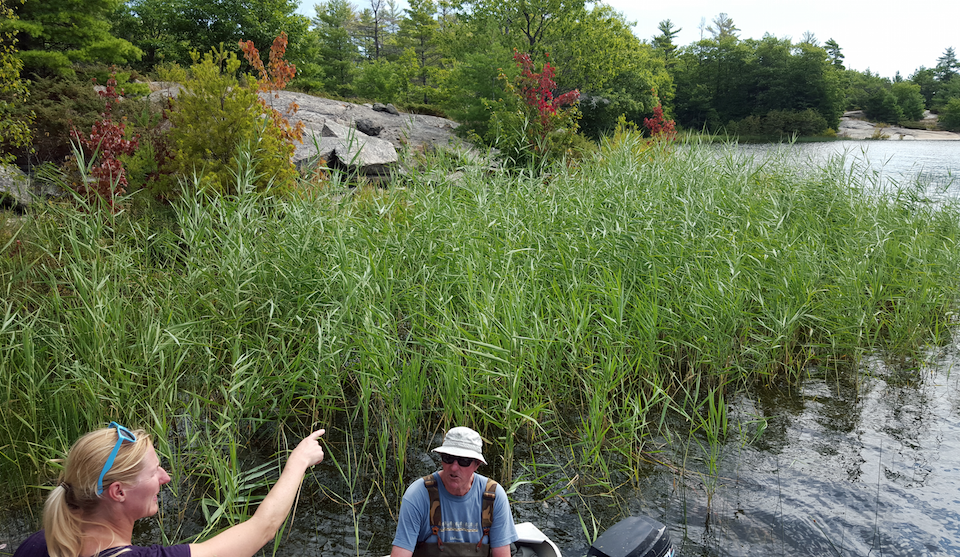 Invasive Phragmites in Cognashene