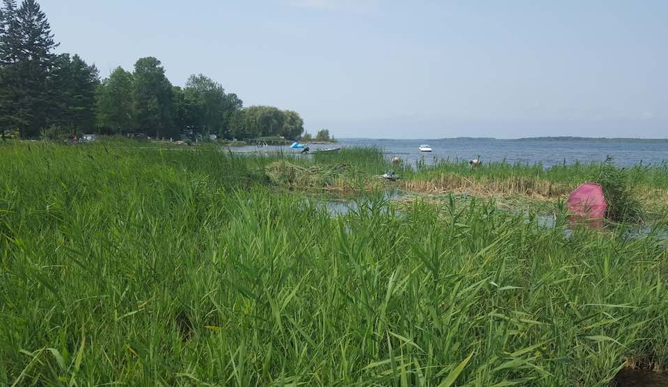 Reed, invasive species, Georgian Bay