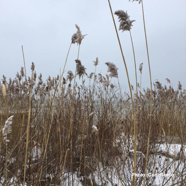 Picture of Winter Phragmites