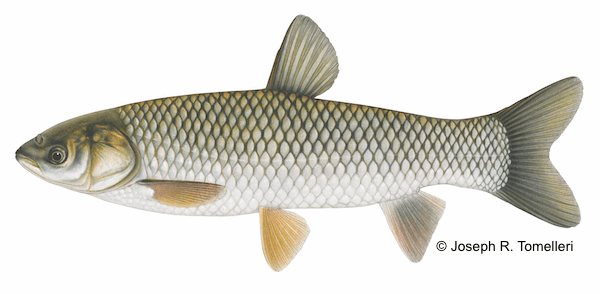4 species of asian carp the common carp georgian bay for What does carp mean