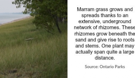 marram-grass-popular
