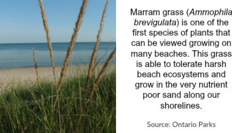 marram-grass-with-copy