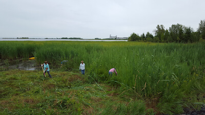 Phragmites Workshop Collingwood