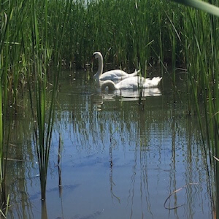 Swans in a clearing of Phragmites