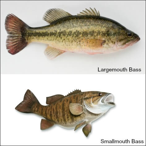 Largemouth and smallmouth bass