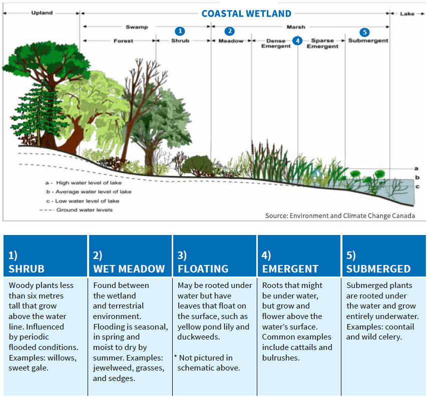 Chart explaining coastal wetlands